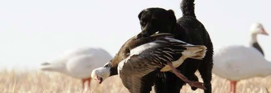 Canada Goose victoria parka replica cheap - Snow Goose Hunting in Manitoba Canada - Ramsey Russell's GetDucks.com