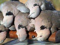dove hunting in africa