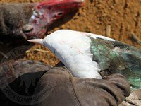 africa goose hunting 2295_200x150