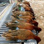 Peru Cinnamon Teal Hunting