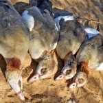 South Africa Goose Hunting