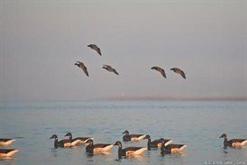 brant%20hunts%20delaware%202012%20flying_274x183