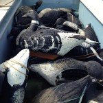 Baja Mexico Pacific Black Brant Hunting