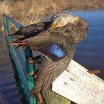 Nova Scotia Sink Box Duck Hunting