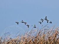 Peru Duck Hunting Photos