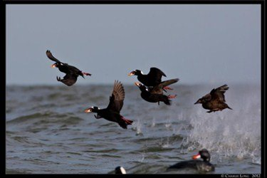 sea%20duck%20hunting%20scoters%202_375x250