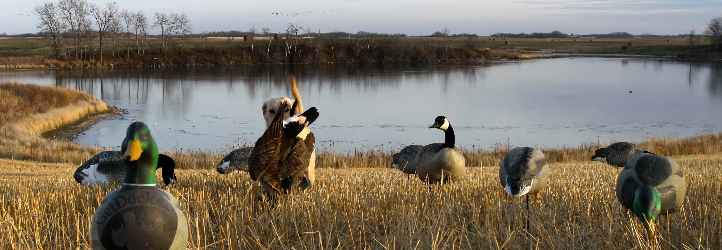 Canada Goose Hunting Pictures