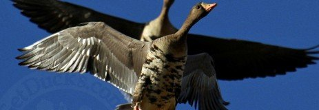 White Fronted Specklebelly Goose Hunting