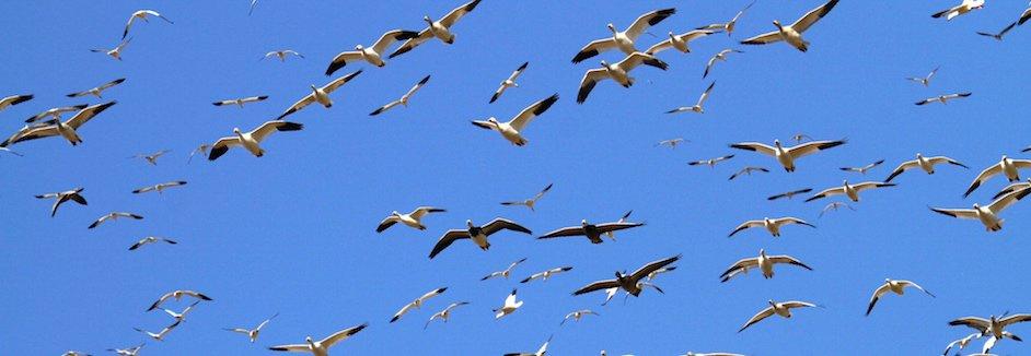 North Dakota Snow Goose Hunting