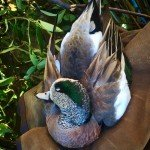 Mexico Wigeon Duck Hunting