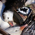 manitoba snow goose hunting 810eIMG_0013