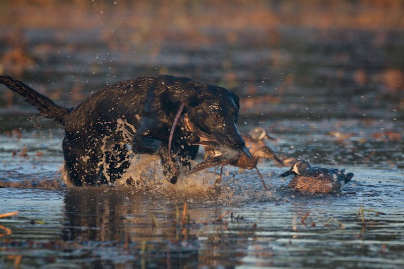 texas teal hunting_7963