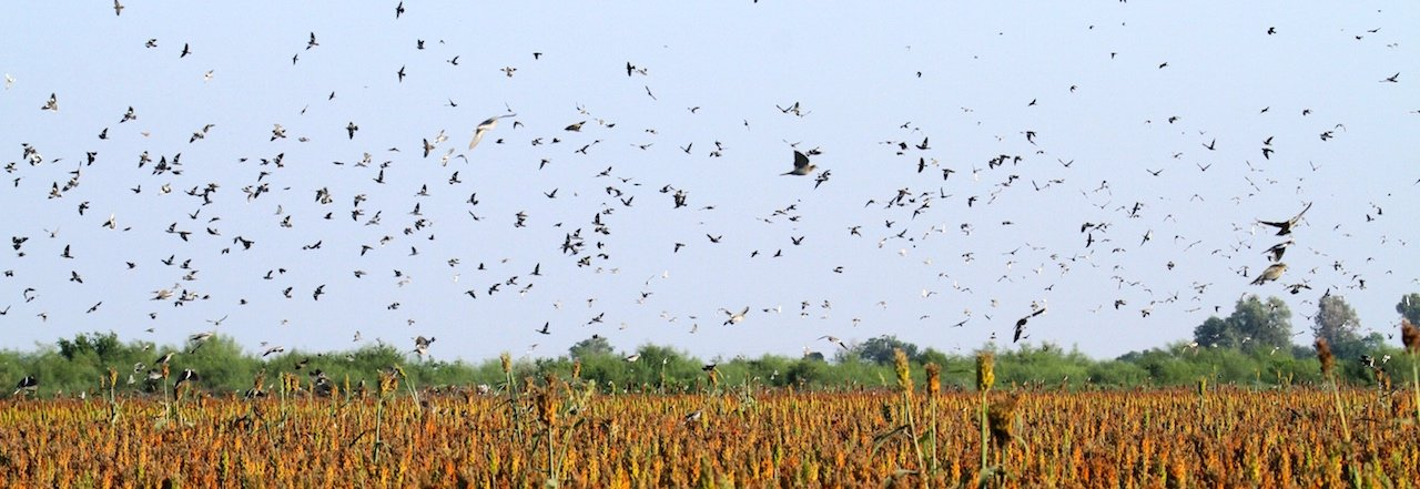 Mexico White Wing Dove Hunting