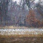 missouri-duck-hunting-dw-north-corn3