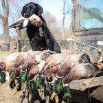 missouri-duck-hunting-ducks1