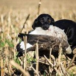 missouri-goose-hunting-guides