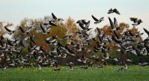 goose hunting in sweden