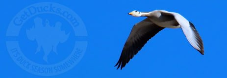 Mongolia Bar Headed Goose Hunting
