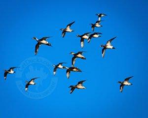 duck hunting mongolia