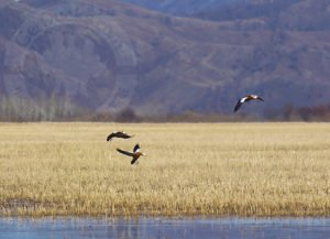mongolia duck hunting