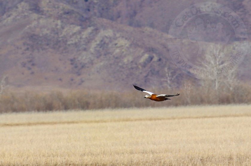 ruddy shelduck hunting mongolia