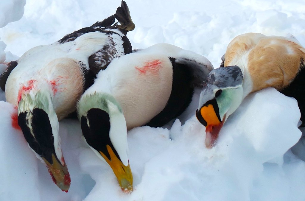 greenland king eider hunting