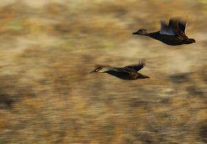 australia duck hunt