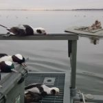 new england sea duck hunting