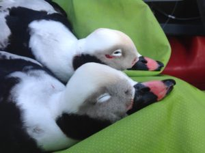 LONG TAILED DUCK HUNTS