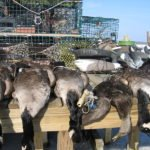 NEW ENGLAND WATERFOWL HUNTING