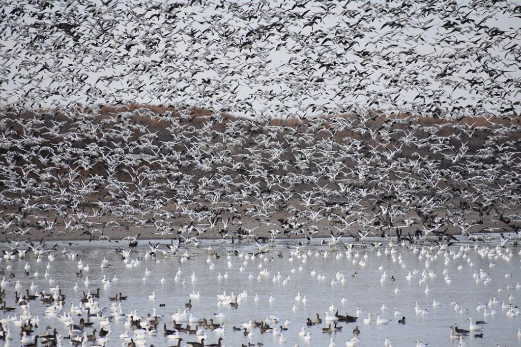 KANSAS SNOW GOOSE HUNTING