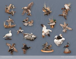DUCK TAXIDERMY