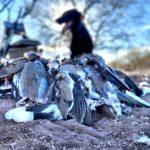 Mexico Duck Hunt white winged dove combo