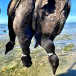 Pacific Brant Hunting