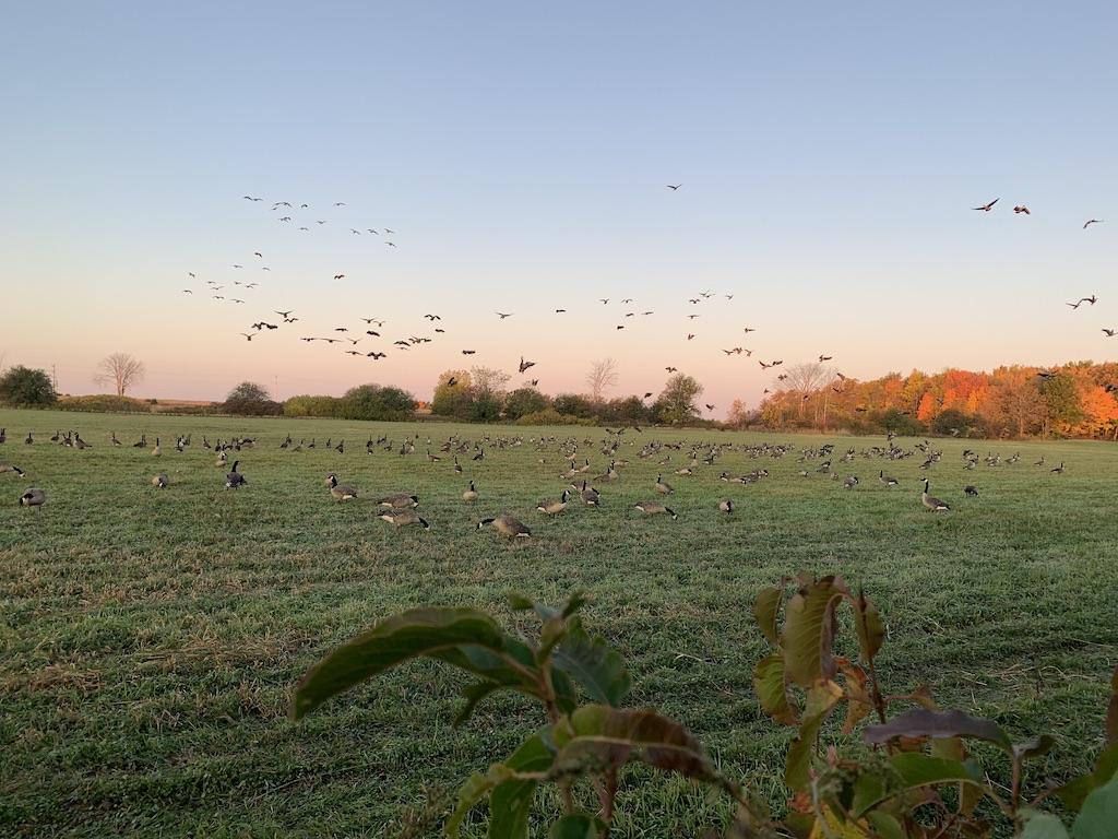 canada goose hunt ontario
