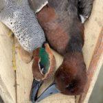 Azerbaijan Duck Species