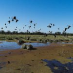 whistling duck species hunted in argentina